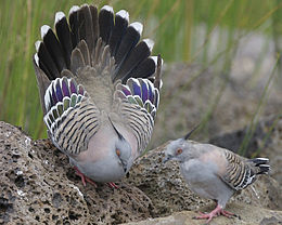 Crested Pigeon (Ocyphaps lophotes) mating display