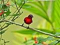 Crimson Sunbird (Aethopyga siparaja) (8066355726).jpg