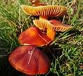 Crimson Waxcap. Hygrocybe punicea (49055268862).jpg