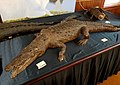 Crocodylus acutus - Pember Library and Museum - Granville, New York - 20180224 142258.jpg