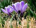 Crocus plant flowering.jpg