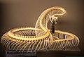 Crotalus atrox -Museum of Osteology, Oklahoma City, Oklahoma, USA-29Aug2012.jpg