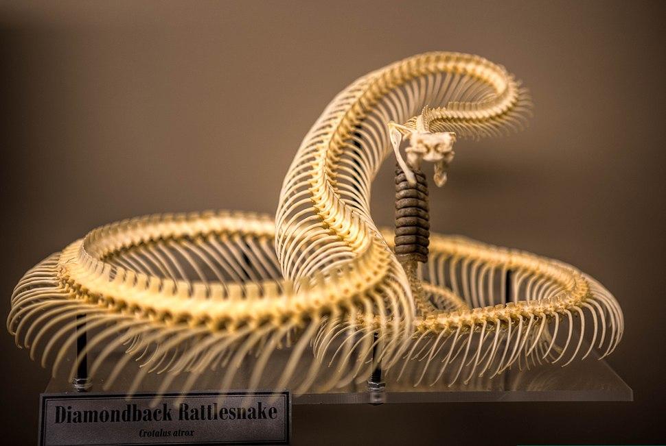 Crotalus atrox -Museum of Osteology, Oklahoma City, Oklahoma, USA-29Aug2012