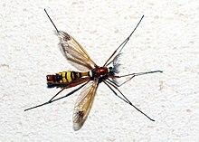 Tipulidae wikipedia for Larve zanzare
