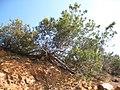 Cupressus forbesii at Coal Canyon-Sierra Peak, Orange County - Flickr - theforestprimeval (25).jpg