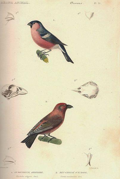 File:Cuvier-35-Bouvreuil pivoine et Bec-croisé des sapins.jpg
