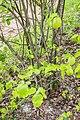 Cydonia oblonga in Aveyron (5).jpg