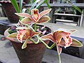 Cymbidium iridioides-1-bsi-yercaud-salem-India.jpg