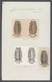 Cymothoa oestrum - - Print - Iconographia Zoologica - Special Collections University of Amsterdam - UBAINV0274 098 11 0007.tif