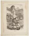 Cynocephalus hamadryas - 1700-1880 - Print - Iconographia Zoologica - Special Collections University of Amsterdam - UBA01 IZ20100013.tif