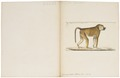 Cynocephalus sphinx - 1829-1867 - Print - Iconographia Zoologica - Special Collections University of Amsterdam - UBA01 IZ20100040.tif