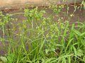 Cyperus eragrostis 2007.07.09 13.59.23-p7090735.jpg