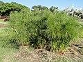 Cyperus involucratus - J. C. Raulston Arboretum - DSC06200.JPG