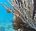 Cyphoma gibbosum (flamingo tongue snail) (San Salvador Island, Bahamas) 1 (16142525182).jpg