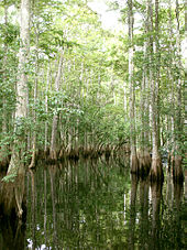 A swamp dominated by tall trees with buttressed trunks standing in water, their bark gray. As the trunks get closer to the water the color gradually becomes more brown