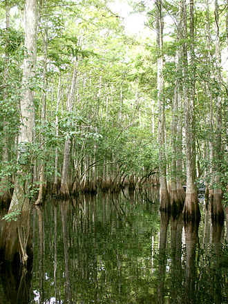 St. Johns River - Cypress trees in the Tosohatchee Wildlife Management Area showing dark water marks on the flared trunks, evidence of water level flux
