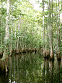 Cypress trees Tosohatchee.JPG