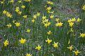 Daffodils (24768031869).jpg