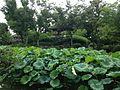 Daishuangting and Lotus of Zhuozhengyuan Garden.JPG