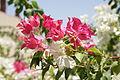 Dans les jardins de l'hôtel à Eilat - Israël (7582500978).jpg
