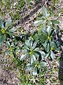 Daphne laureola (3) (Thymelaeaceae).jpg
