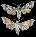 Darapsa myron MHNT CUT 2010 0 301 Leeds county Ontario Canada male.jpg
