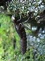 Darner (Aeshnidae) Nymph.jpg