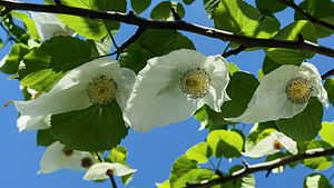 Davidia involucrata - Image: Davidia involucrata flowering branch