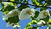 Davidia involucrata flowering branch.jpg