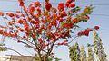 Delonix regia tree.jpg