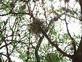 Detalles de un mezquite en Aguascalientes 02.jpg