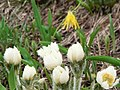 Dew on pasque flowers and glacier lily. (fe5585541791499292a329afccc69b10).JPG