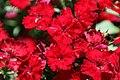 Dianthus chinensis Telstar Crimson 1zz.jpg