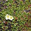 Diapensia lapponica (leaf s2).jpg