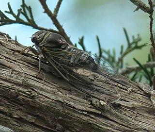 <i>Diceroprocta viridifascia</i> Species of true bug