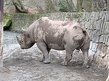 камерунский носорог