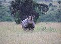 Diceros bicornis Mbagathi.jpg
