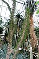 Didierea madagascariensis - Botanischer Garten - Heidelberg, Germany - DSC01296.jpg
