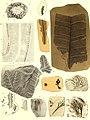 Die fossile Flora der Permischen Formation (1864) (20728287468).jpg
