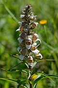 Digitalis lanata (7446876792).jpg