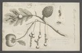 Diplolepis - Print - Iconographia Zoologica - Special Collections University of Amsterdam - UBAINV0274 047 03 0036.tif