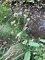 Dipsacus pilosus leaf (14).jpg