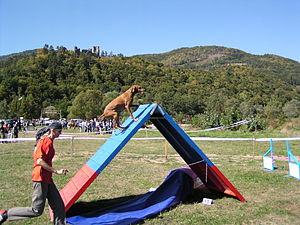 Dog agility - A Hungarian Vizsla climbing an a-frame.