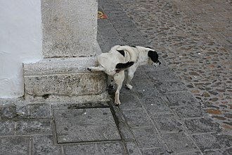 Male dog using urine to make a spot with his scent. Dog marking his spot.jpg
