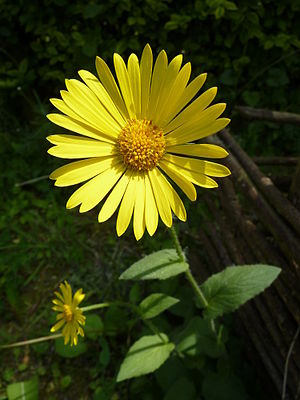 Doronicum pardalianches J2.JPG