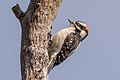 Downy Woodpecker (m) (39912101924).jpg