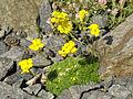 Draba densifolia 2.jpg