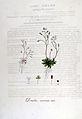 Draba verna — Flora Batava — Volume v6.jpg