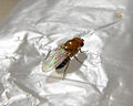 Drosophila melanogaster 1 007.jpg