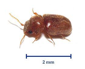 タバコシバンムシの駆除方法について|幼虫の画像・発生原因・予防策をチェック